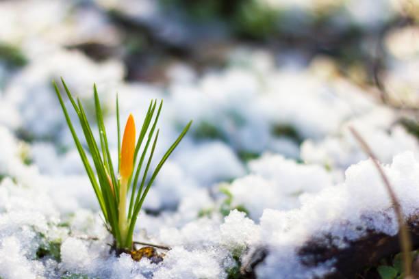 yellow crocuses in snowy garden - historycyzm zdjęcia i obrazy z banku zdjęć