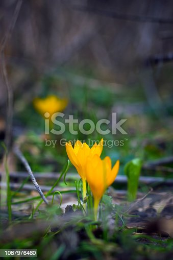 One of the first flowers to herald in spring, this little crocus delights us with its brilliant yellow blooms