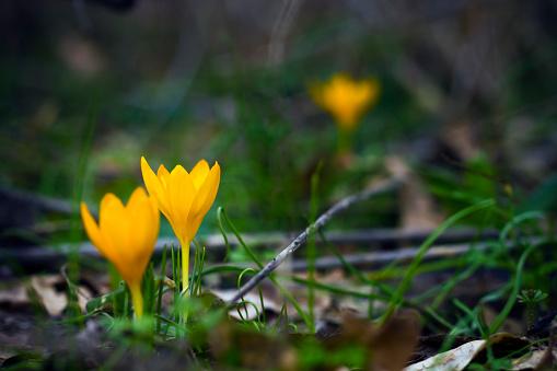 Yellow crocuses in spring garden