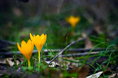 Yellow crocuses in spring garden