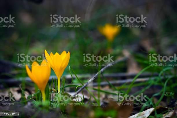 Photo of Yellow crocuses in spring garden
