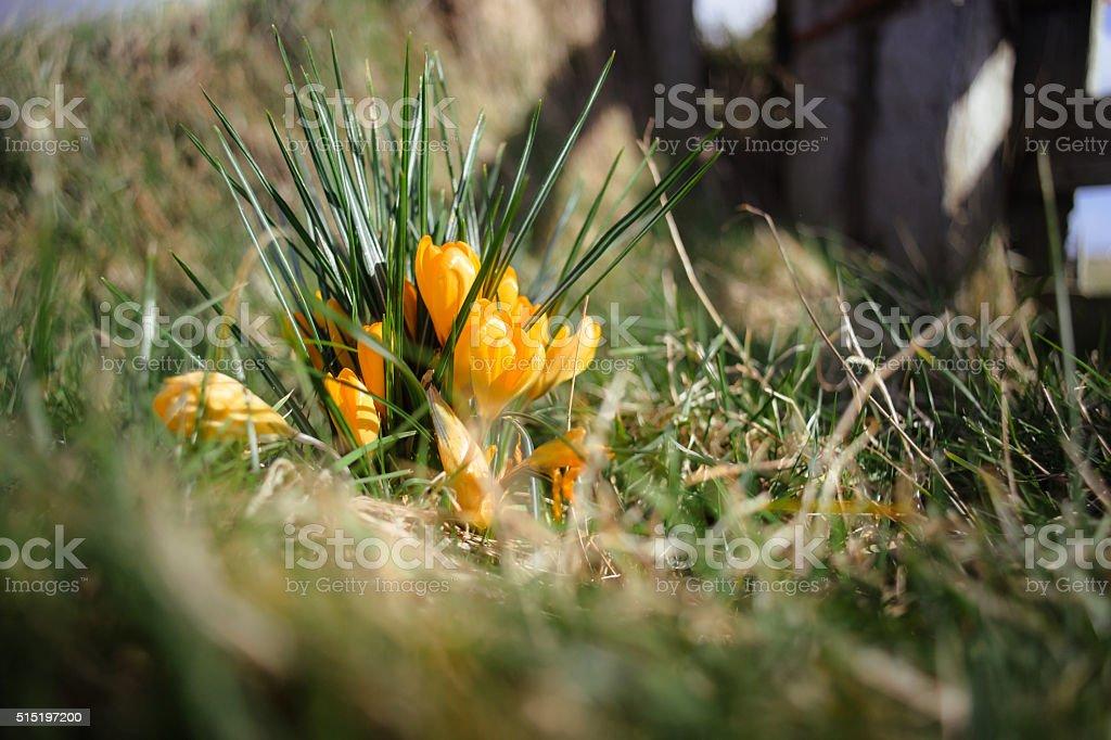 Yellow crocuses in the meadow stock photo