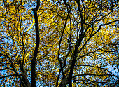 The Canopy Of A Horse Chestnut Tree