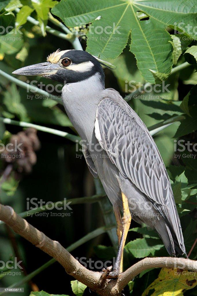 Yellow Crowned Night Heron royalty-free stock photo