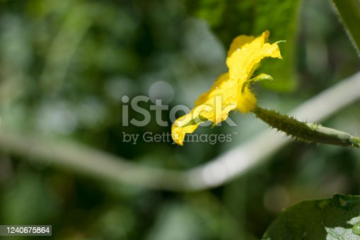 Yellow cucumber flower in the vegetable garden