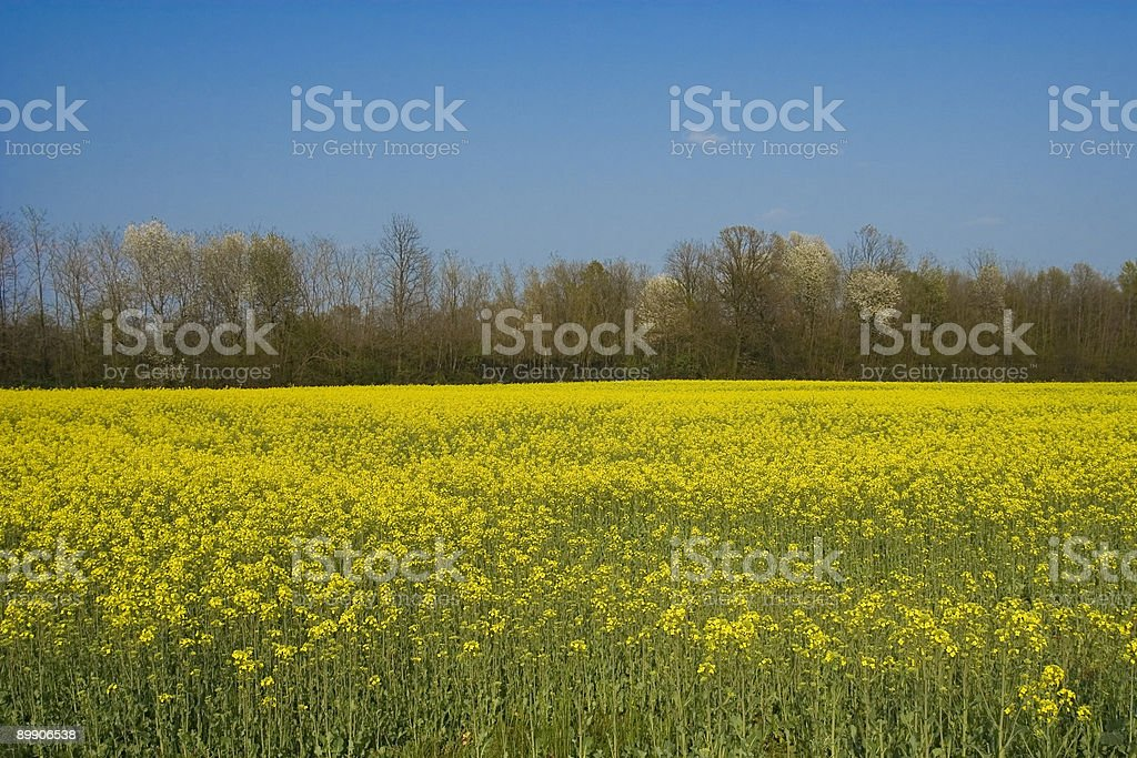 Yellow Cultivated Field with Blue Sky, Rural Scene royalty-free stock photo