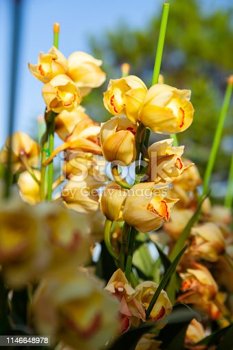 yellow cymbidium orchid flower Danang city Vietnam