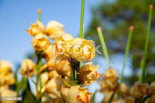 yellow cymbidium orchid flower Danang city Vietnam