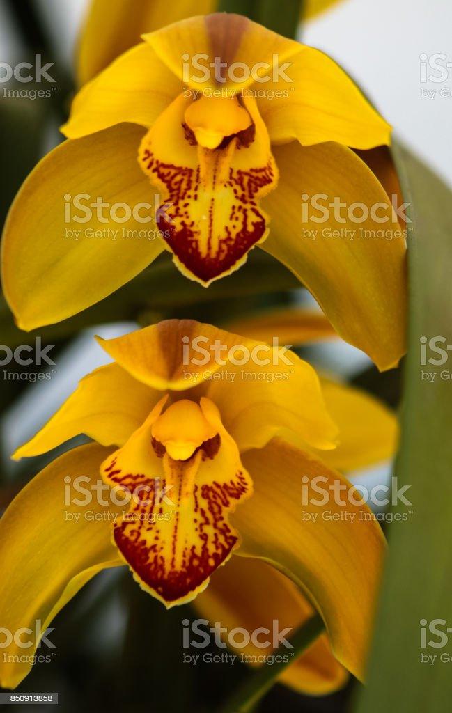 Yellow cymbidium orchid. stock photo