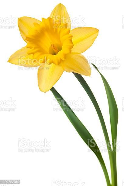Yellow daffodil against white background picture id120727389?b=1&k=6&m=120727389&s=612x612&h=szrl  tk1t32svp8g9anhc nae8mcsujhe2ymqm mj8=