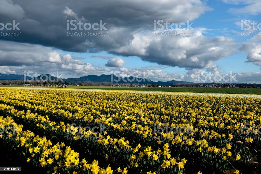 Gelbe Narzissen Felder in voller Blüte unter blauem Himmel. – Foto