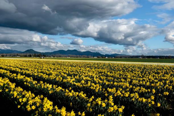 Yellow daffodil fields in bloom under blue sky. stock photo