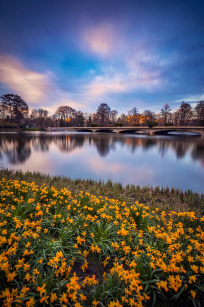Yellow daffodil flower bed in the springtime with a dramatic cloudy sky in the background shot with long exposure in a park stock photo