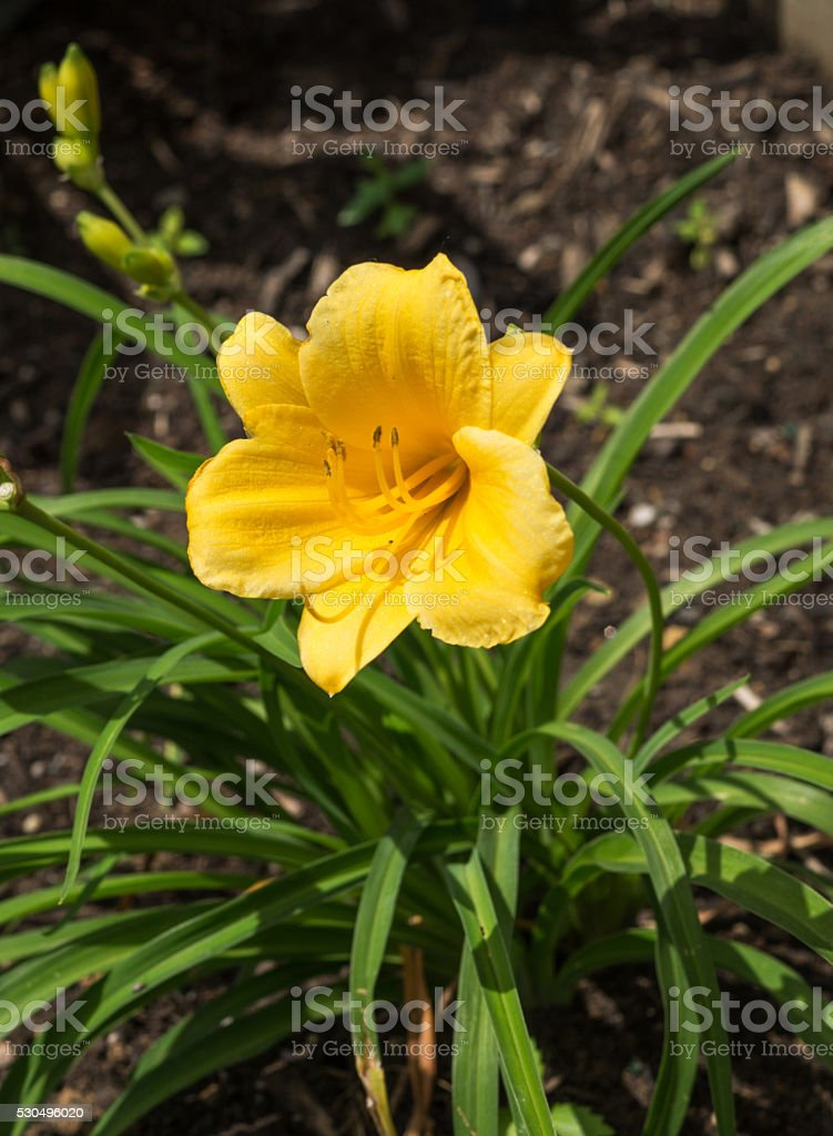 yellow daffodil flower in landscaping stock photo