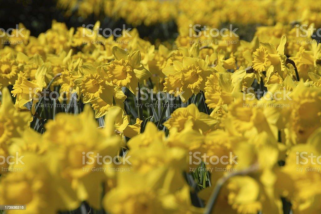 Yellow Daffodil Flowers stock photo