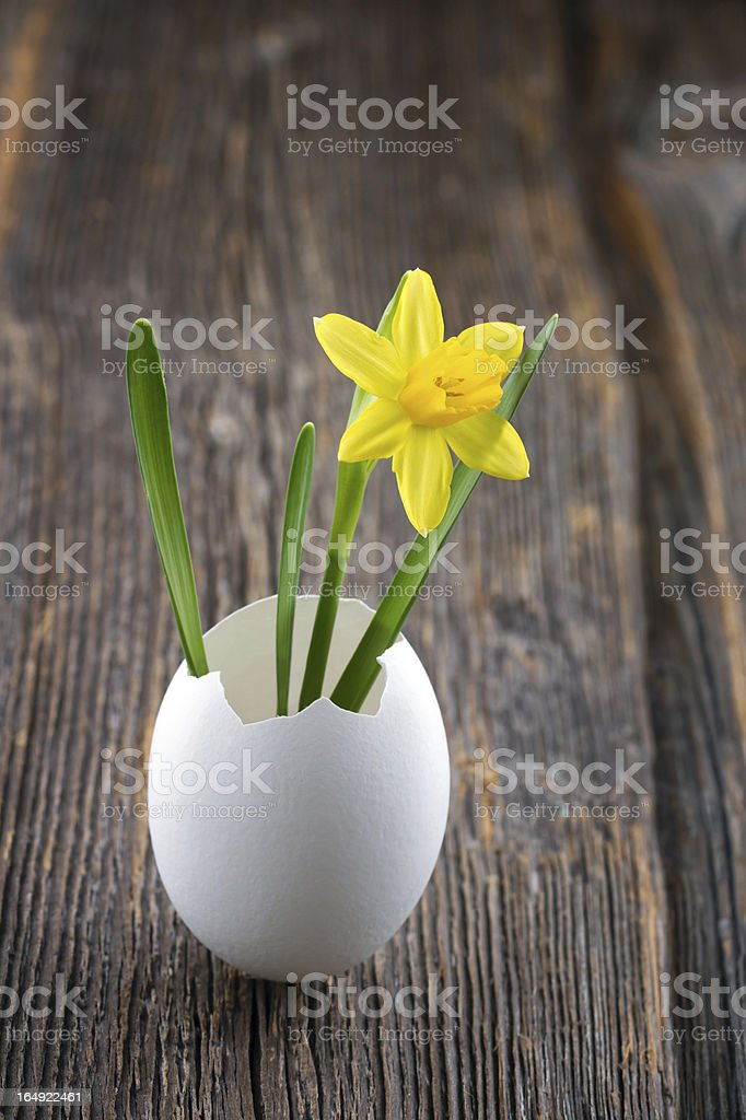 Yellow daffodil in a white egg shell royalty-free stock photo