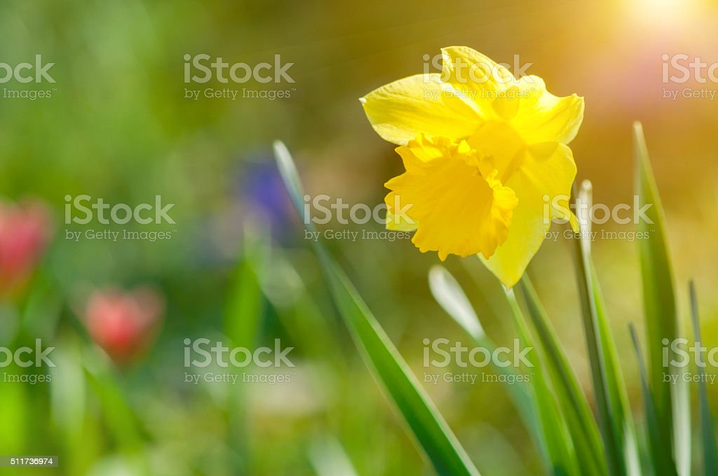 yellow daffodil in spring in sunlight stock photo
