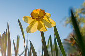 Yellow Daffodil (Narcissus) in Spring on Sunset