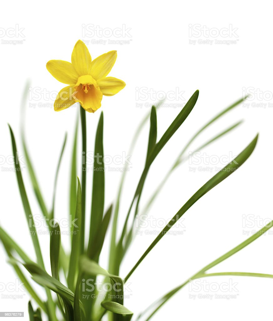 Yellow daffodil isolated on white royalty-free stock photo