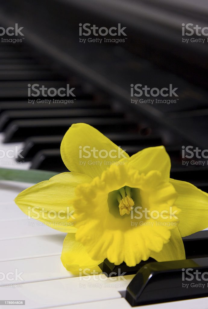 Yellow Daffodil on a piano royalty-free stock photo