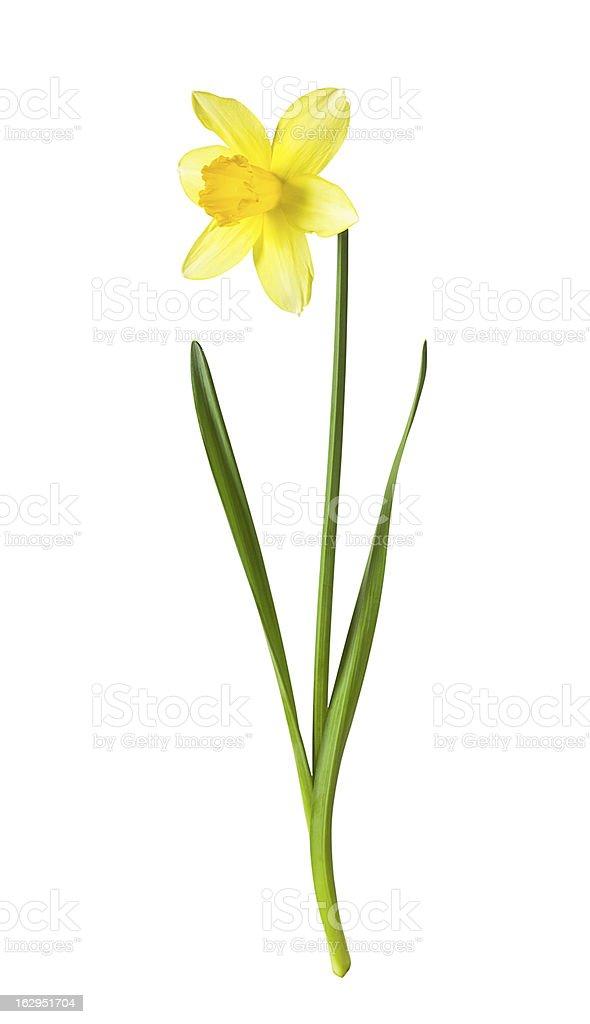 Yellow daffodil on white background stock photo