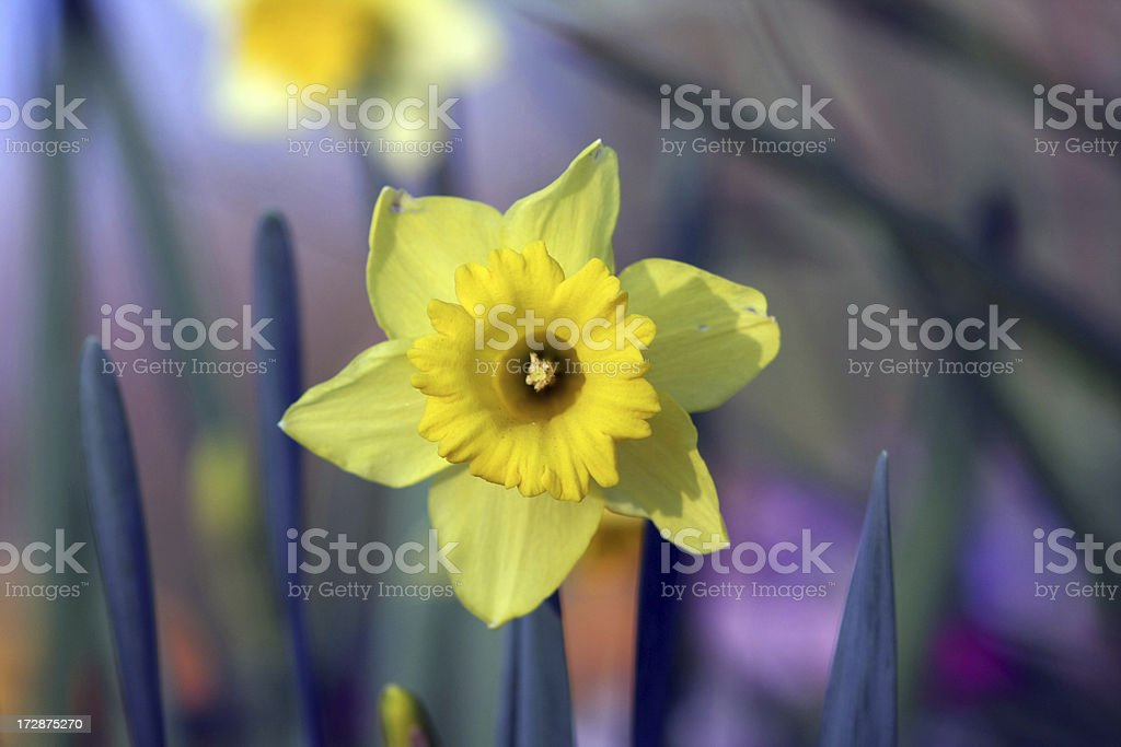 Yellow Daffodil royalty-free stock photo