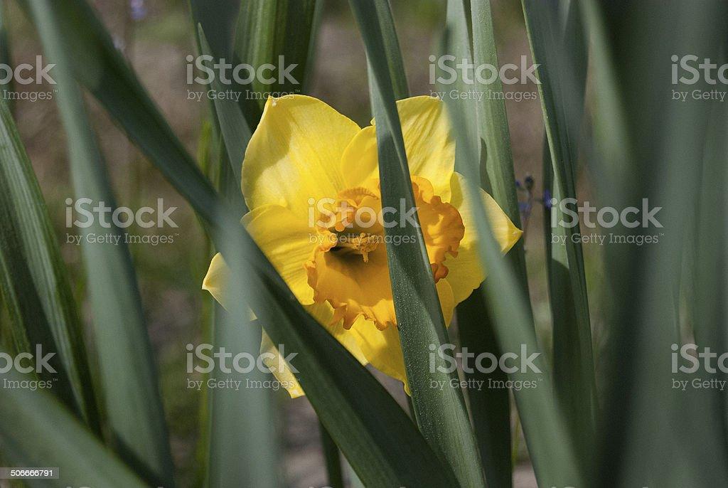 Yellow Daffodil stock photo