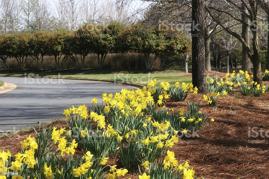 Yellow Daffodils Beside the Street royalty-free stock photo