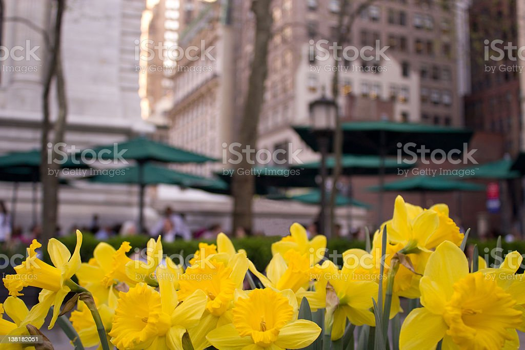 Yellow Daffodils blooming during Spring in New York stock photo
