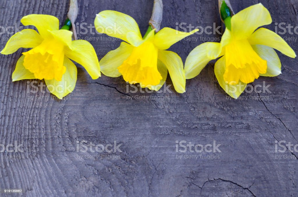 Yellow daffodils flowers on old wooden background with space for text.Spring Narcissus flowers border. stock photo