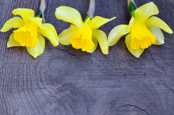 yellow daffodils flowers on old wooden background with space for text.spring narcissus flowers border. - spring border stock photos and pictures