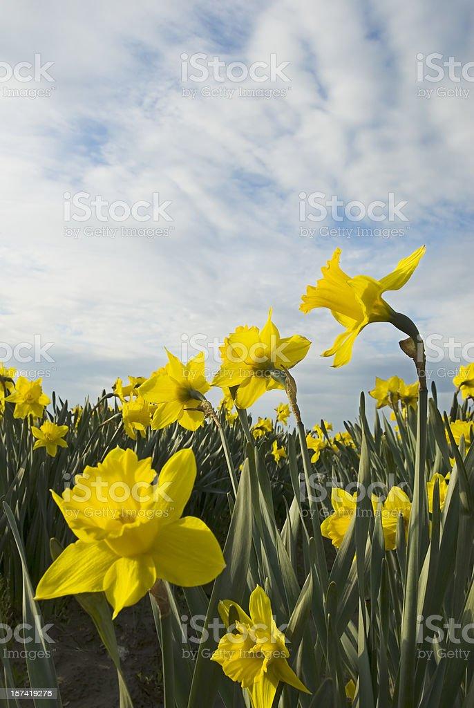 Yellow daffodils - II royalty-free stock photo