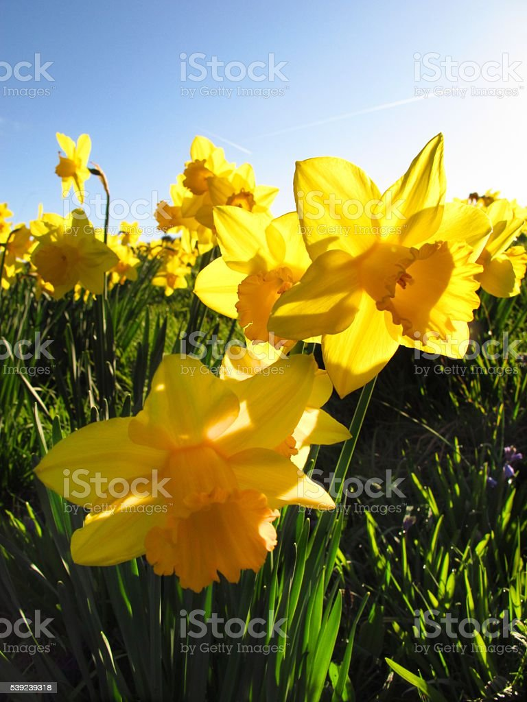 yellow Daffodils in a field royalty-free stock photo