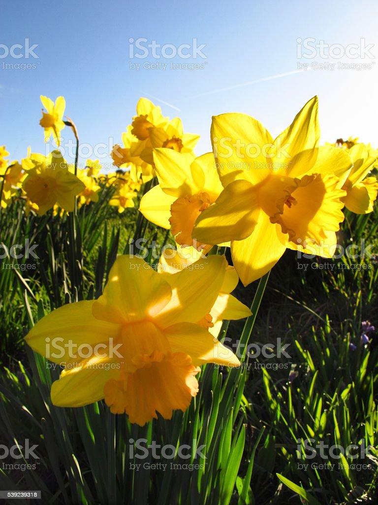 yellow Daffodils in a field stock photo