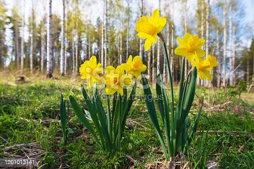 639245704 istock photo Yellow daffodils in springtime 1201013141