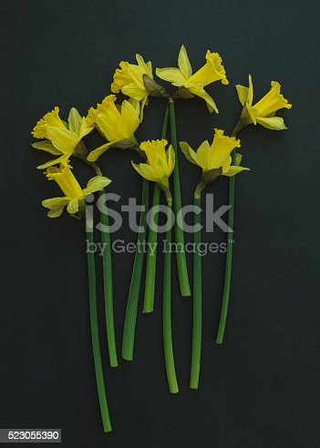 istock Yellow daffodils on a black background 523055390