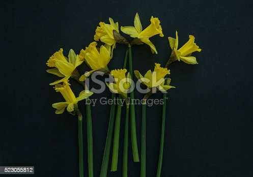 istock Yellow daffodils on a black background 523055812