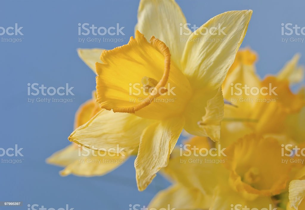 Yellow Daffodils on Blue royalty-free stock photo