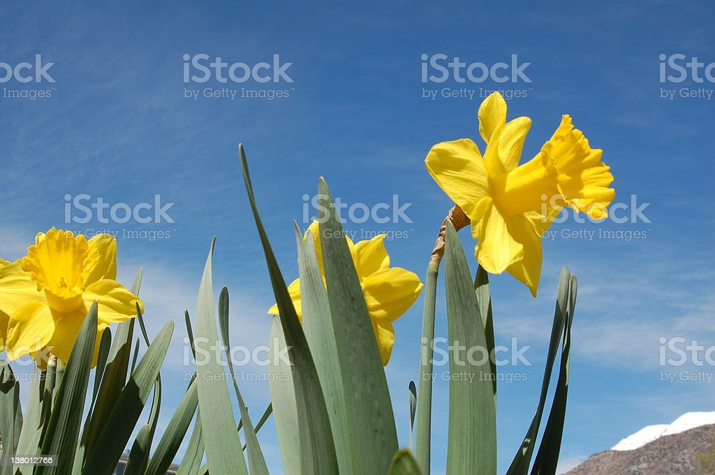 yellow daffodils royalty-free stock photo