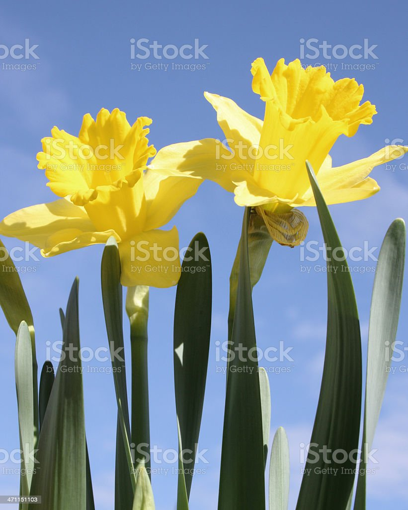 Yellow Daffodils royalty-free stock photo