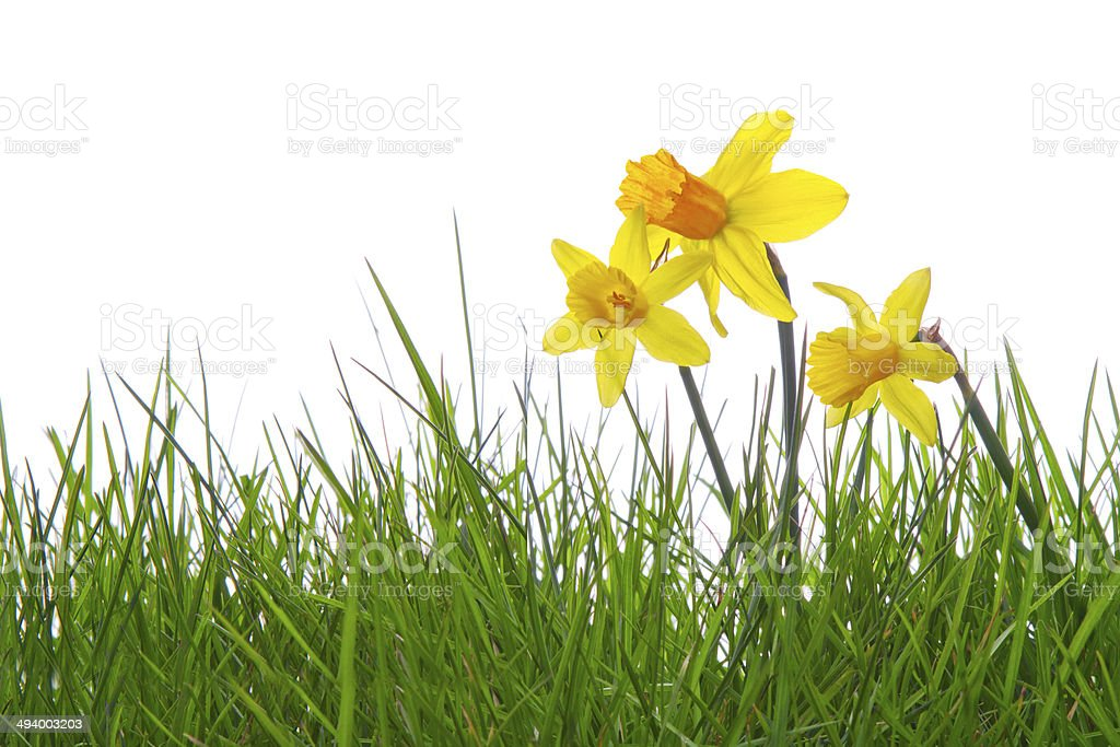 Yellow daffodils . stock photo