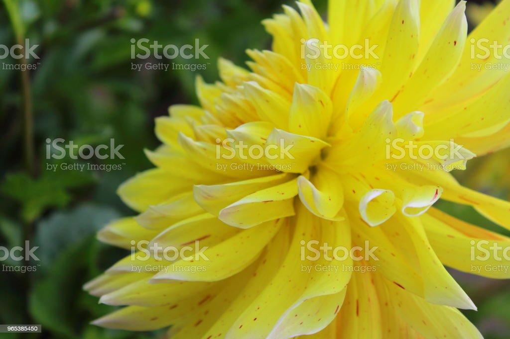 yellow dahlia flower akita yellow zbiór zdjęć royalty-free