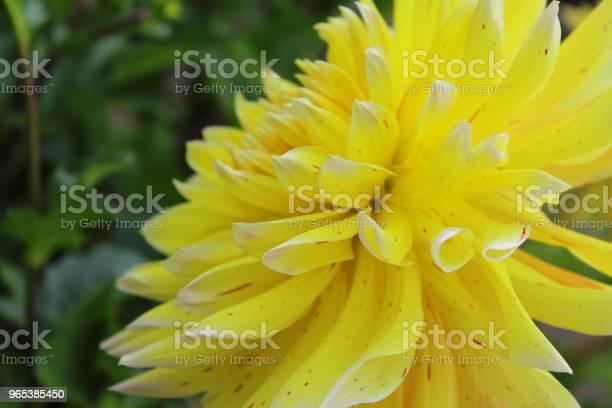 Żółty Dalia Kwiat Akita Żółty - zdjęcia stockowe i więcej obrazów Bez ludzi