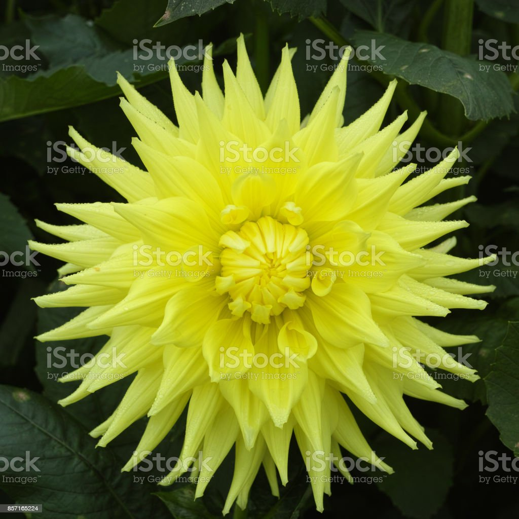 Yellow dahlia flower beatyful bouquet or decoration from the garden yellow dahlia flower beatyful bouquet or decoration from the garden royalty free stock photo izmirmasajfo
