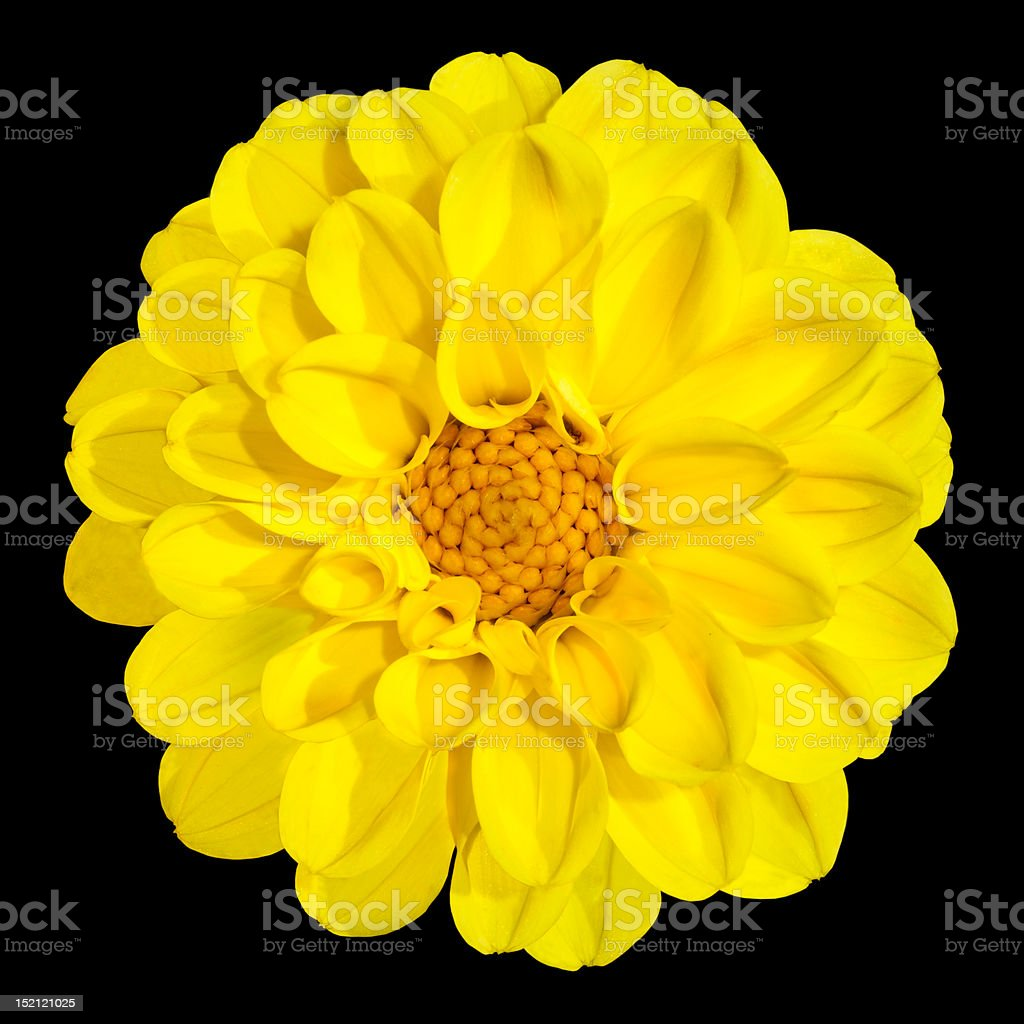 Yellow Dahlia Flower Isolated on Black Background royalty-free stock photo
