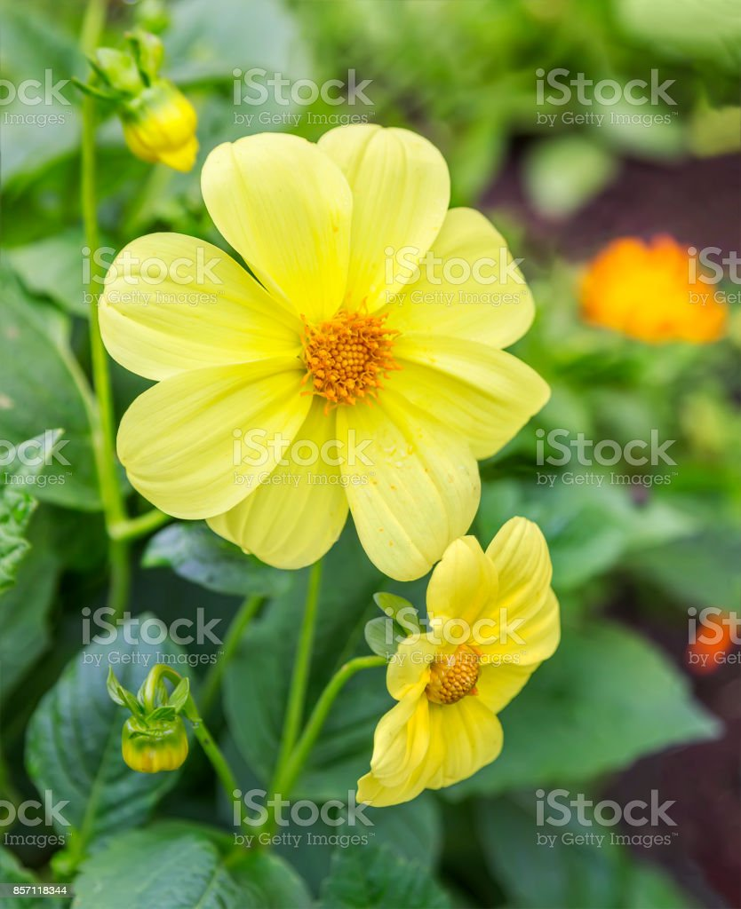 Yellow dahlia flower stock photo more pictures of autumn istock yellow dahlia flower royalty free stock photo izmirmasajfo