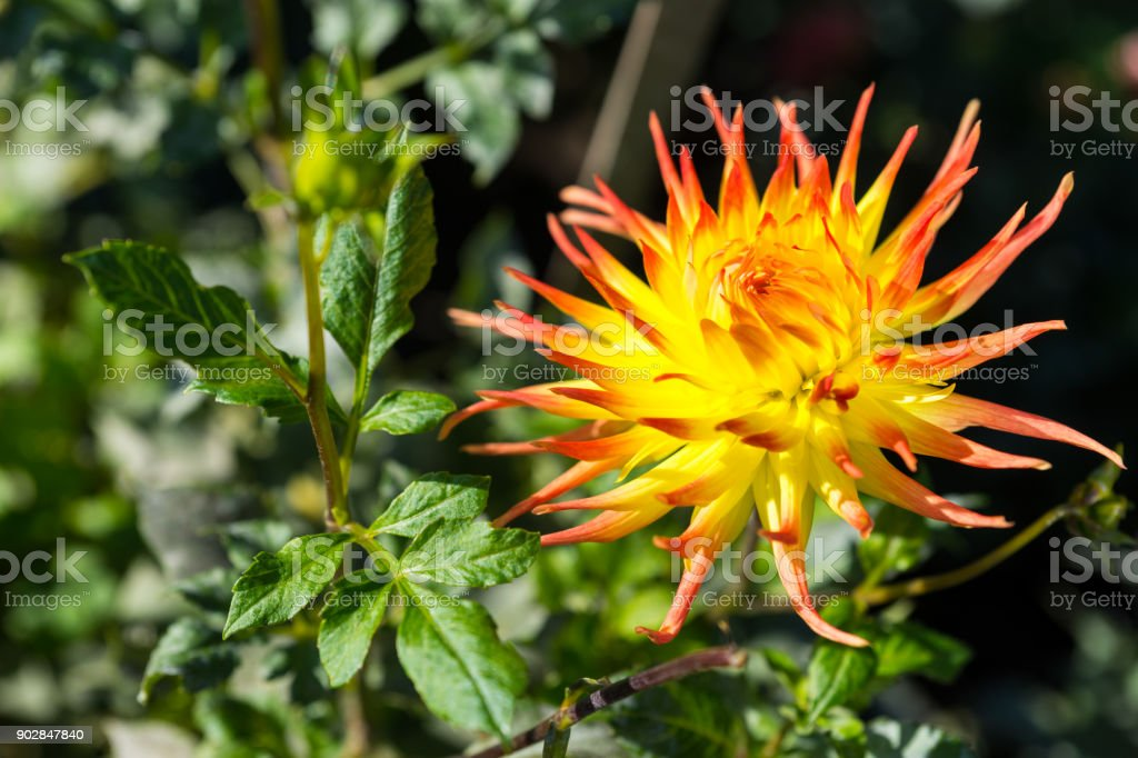 Yellow dahlia flower with orange endings against green leaves stock photo