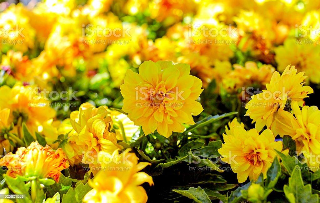 Yellow Dahlia Garden stock photo