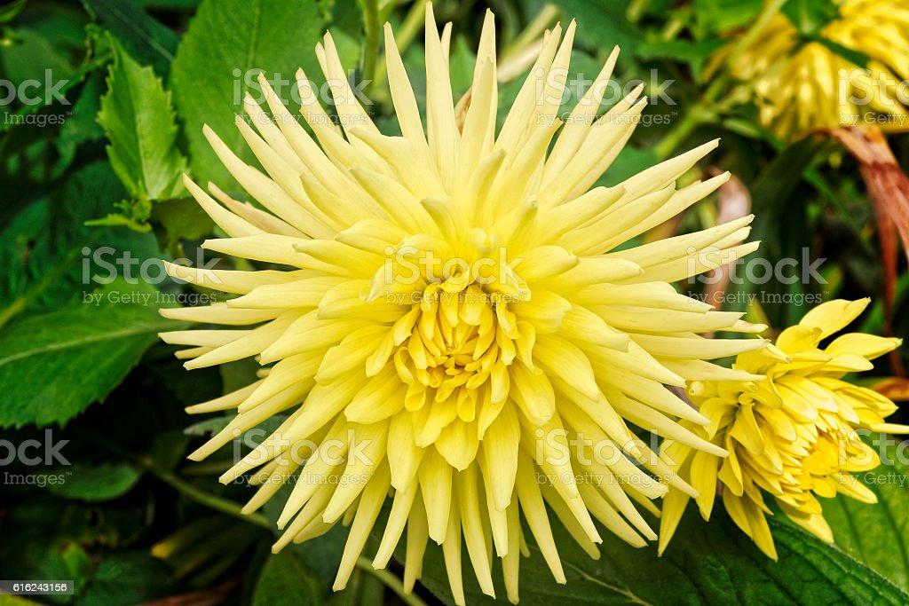 Yellow Dahlia stock photo