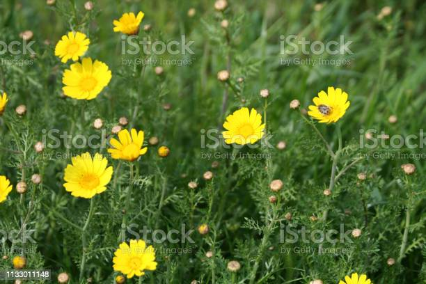Photo of Yellow daisies and a bug